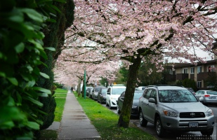 Beautiful blossoms in Burnaby, BC. Shot in March 2016.
